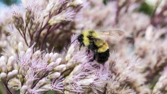 Obama put bumblebees on the endangered species list—and Trump's EPA is likely to let them keep dying