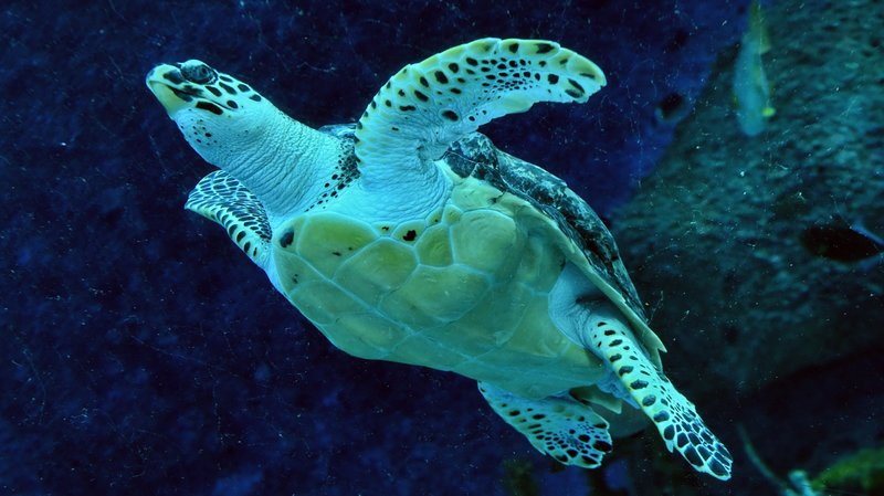 """Nature is declining globally at rates unprecedented in human history,"" a U.N. panel says, reporting that around 1 million species are currently at risk of extinction. Here, an endangered hawksbill turtle swims in a Singapore aquarium in 2017."